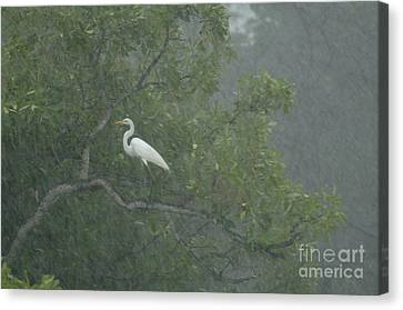 Egret In The Monsoons Canvas Print by Bob Christopher