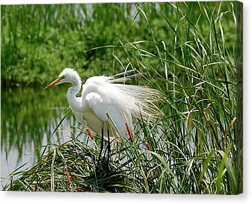 Egret Canvas Print by Kathy Gibbons