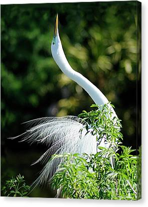 Egret  Canvas Print by Nancy Greenland