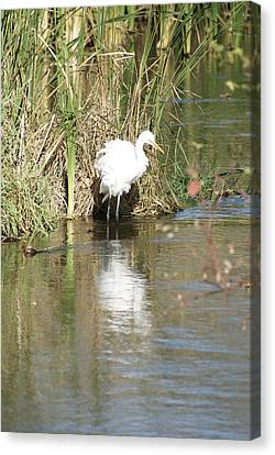 Egret Canvas Print by Steven Clipperton