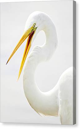 Egret Up Close Canvas Print by Paulette Thomas