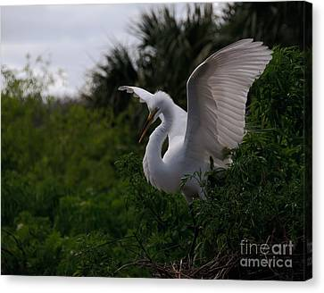Egret Wings Canvas Print by Art Whitton