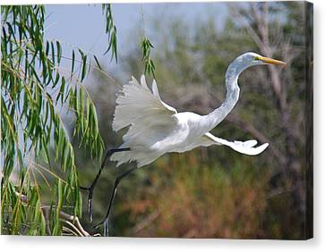 Canvas Print featuring the photograph Egret's Flight by Tam Ryan