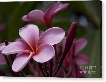 Eia Ku'u Lei Aloha Kula - Pua Melia - Pink Tropical Plumeria Maui Hawaii Canvas Print by Sharon Mau