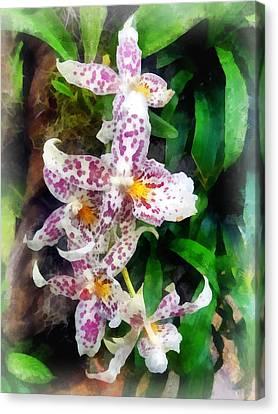 Elegant Beallara Orchid Canvas Print by Susan Savad