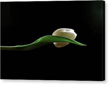 Elegant Tulip Canvas Print