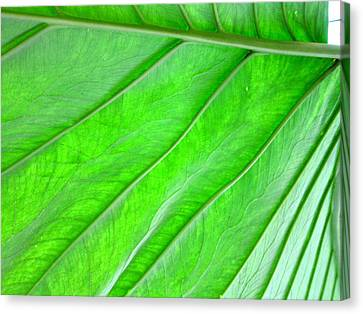 Elephant Ear Plant Leaf Canvas Print