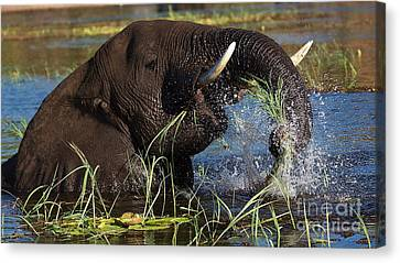 Elephant Eating Grass In Water Canvas Print by Mareko Marciniak
