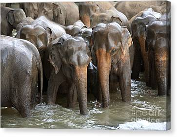 Elephant Herd In River Canvas Print by Jane Rix