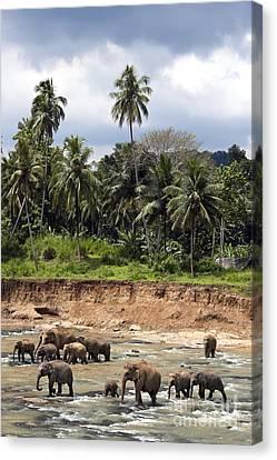 Sri Lanka Canvas Print - Elephants In The River by Jane Rix