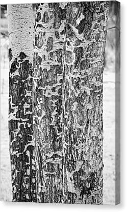 Elk Canvas Print - Elk Gnawed Horning Aspen Trees Bw Fine Art Print  by James BO  Insogna