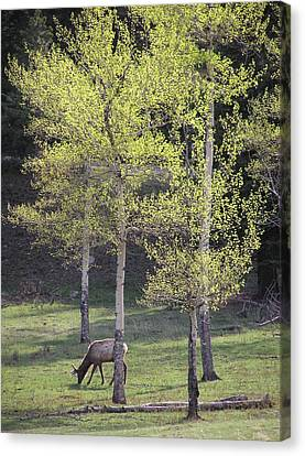 Elk Grazing In Early Spring Canvas Print