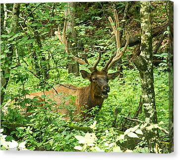 Elk In The Forest   Canvas Print by Glenn Lawrence