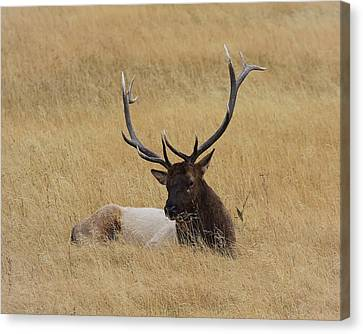 Canvas Print featuring the photograph Elk In The Meadow by Steve McKinzie