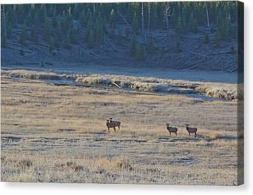 Elk In The Morning Canvas Print by Twenty Two North Photography