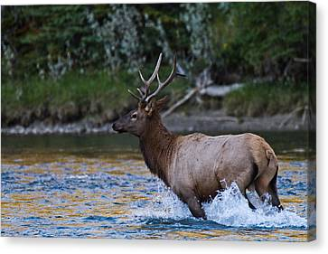Elk Through Water Canvas Print by Maik Tondeur