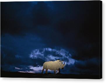 Endangered Northern White Rhinoceros Canvas Print by Michael Nichols