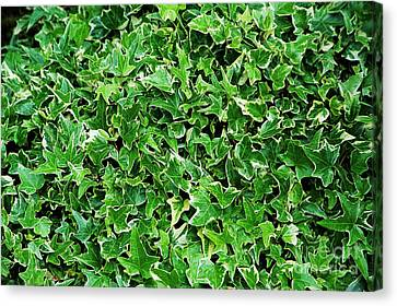 English Ivy (hedera Helix 'kolibri') Canvas Print by Archie Young