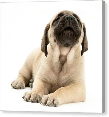 English Mastiff Puppy Canvas Print by Jane Burton