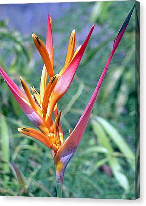 Enhanced Heliconia Canvas Print by Karen Nicholson