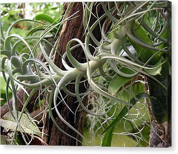 Epiphytic Bromeliad Canvas Print by Tony Craddock