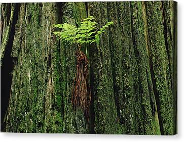Epiphytic Fern Growing On Redwood Canvas Print by Gerry Ellis