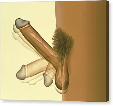 Erecting Penis Canvas Print by Henning Dalhoff