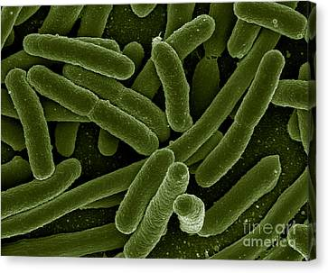 Microscopic Organism Canvas Print - Escherichia Coli Bacteria, Sem by Science Source