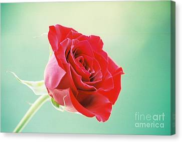 Eternal Rose Canvas Print by Clint Day