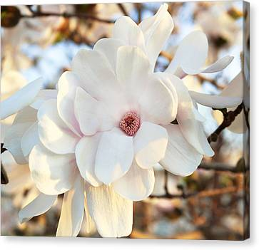Buffalo New York Canvas Print - Evening Magnolia by Peter Chilelli