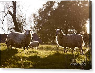 Evening On The Meadow Canvas Print by Angel  Tarantella