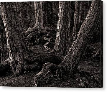 Evening Pines Canvas Print by Ari Salmela