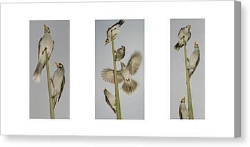 Evening Song Birds Trio Canvas Print