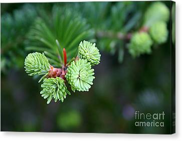 Canvas Print featuring the photograph Evergreen by Adrian LaRoque