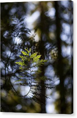 Evergreen Light Canvas Print by Mike Reid