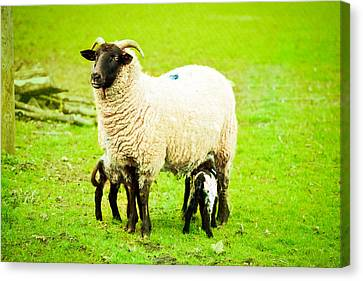 Lambing Canvas Print - Ewe And Lambs by Tom Gowanlock