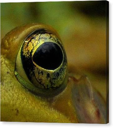 Eye Of Frog Canvas Print by Paul Ward