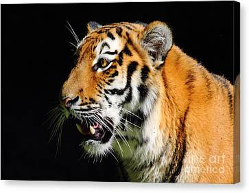 Eye Of The Tiger Canvas Print by Holger Ostwald