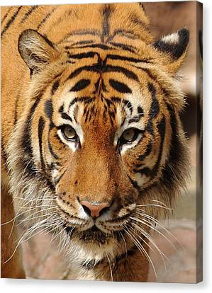 Canvas Print featuring the photograph Eye Of The Tiger by Renee Hardison
