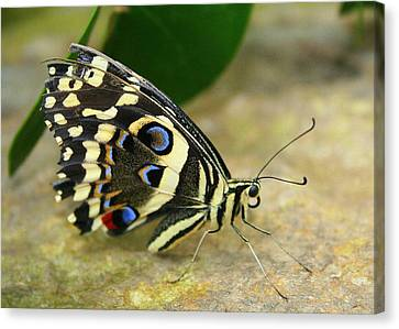 Canvas Print featuring the photograph Eye To Eye With A Butterfly by Laurel Talabere