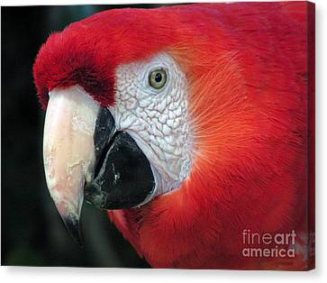 Canvas Print featuring the photograph Face Of Scarlet Macaw by Alexandra Jordankova