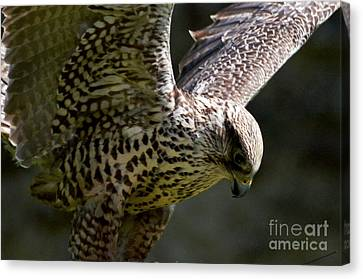 Falcon Taking Off Canvas Print by Pravine Chester