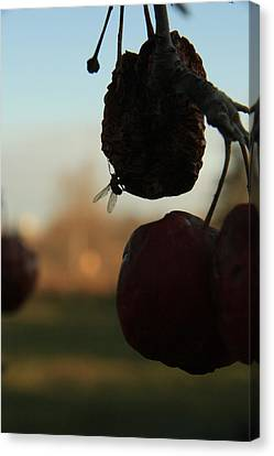 Fall Apples Canvas Print