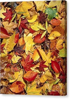 Fall  Autumn Leaves Canvas Print by Bruce Stanfield