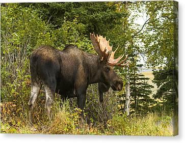 Fall Bull Moose Canvas Print