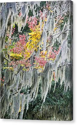 Fall Colors In Spanish Moss Canvas Print by Carolyn Marshall