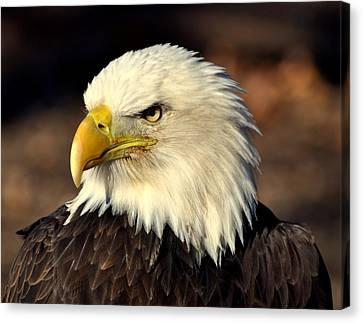 Fall Eagle 4 Canvas Print by Marty Koch