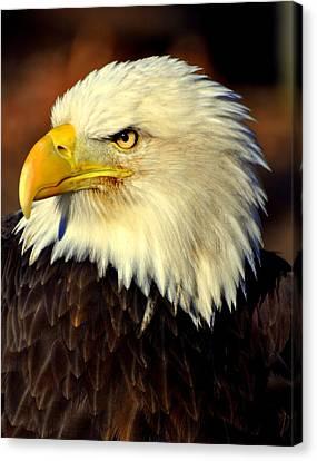 Fall Eagle 5 Canvas Print by Marty Koch