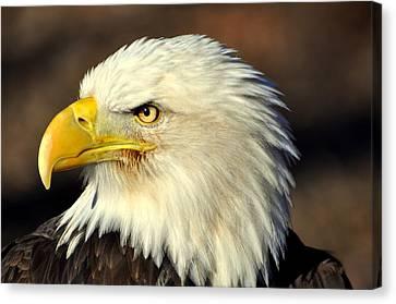 Fall Eagle 6 Canvas Print by Marty Koch