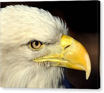 Fall Eagle  Canvas Print by Marty Koch